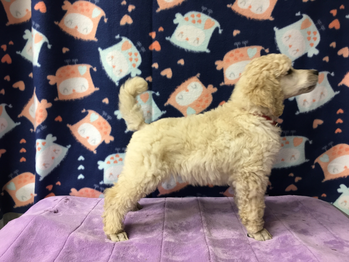 Available Puppies – Gwynt Standard Poodles
